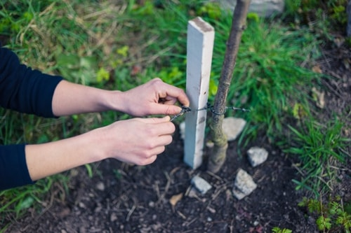 Tree Health and Staking