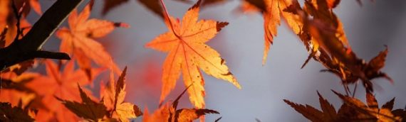 Caring for a Maple Tree